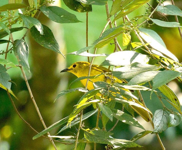 Yellow-browed Blbul
