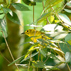 Yellow-browed Blbul