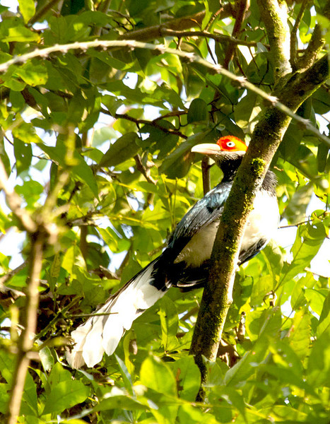 Red-faced Malkoha (Endemic)