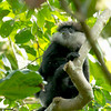 Purple-faced Leaf Monkey (Endemic)