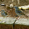 Spot-winged Thrush (Endemic)
