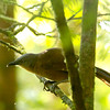 Ashy-headed Laughingthrush (Endemic)