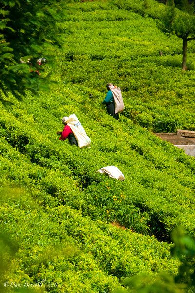 women pick tea in the fields