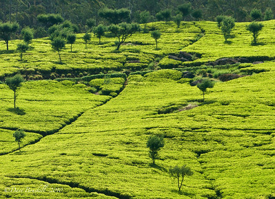 Ella rock and Nuwara Eliya Tea Plantations, Sri Lanka