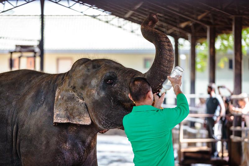 Elephant feeding at Pinnawala Elephant Orphanage