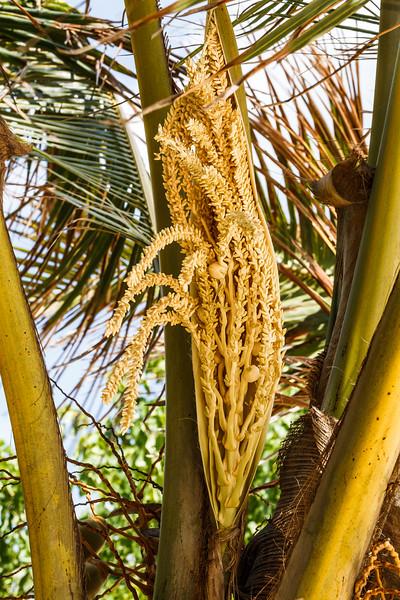 Coconut tree flowers