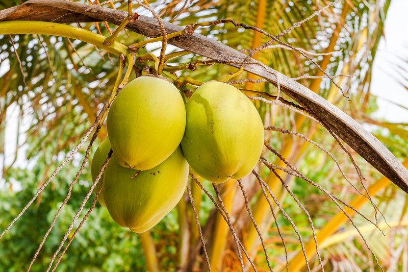 Coconuts on a palm tree