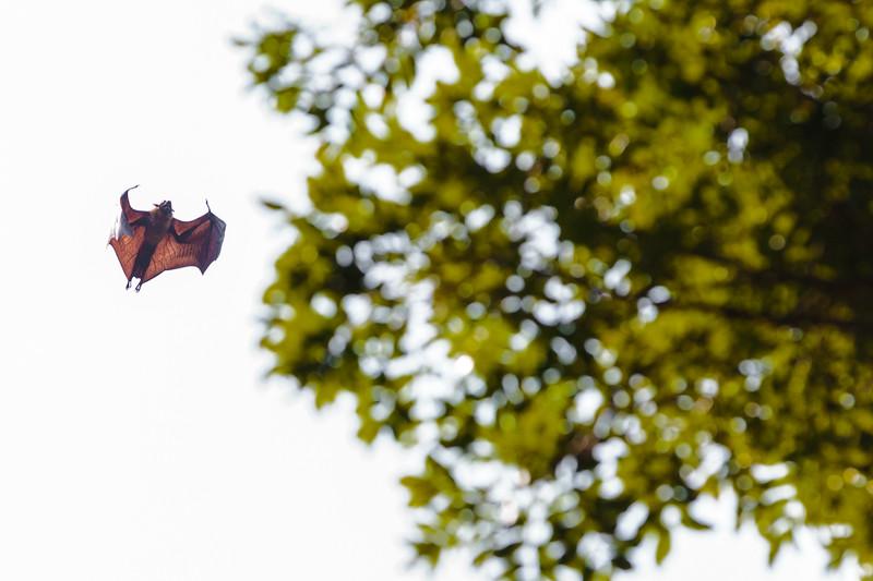 A bat in Kandy's Royal Botanical Gardens