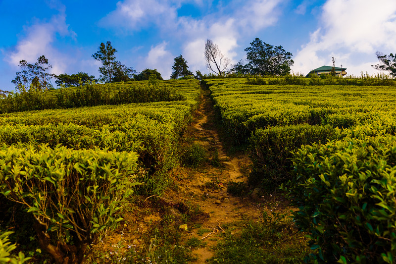 Nuwara Eliya Tea Fields