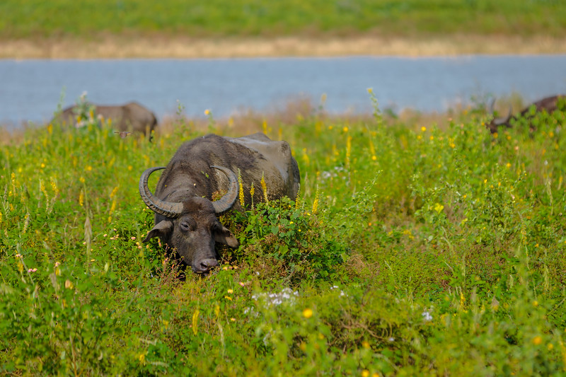 Buffalo in Undwalawe National Park