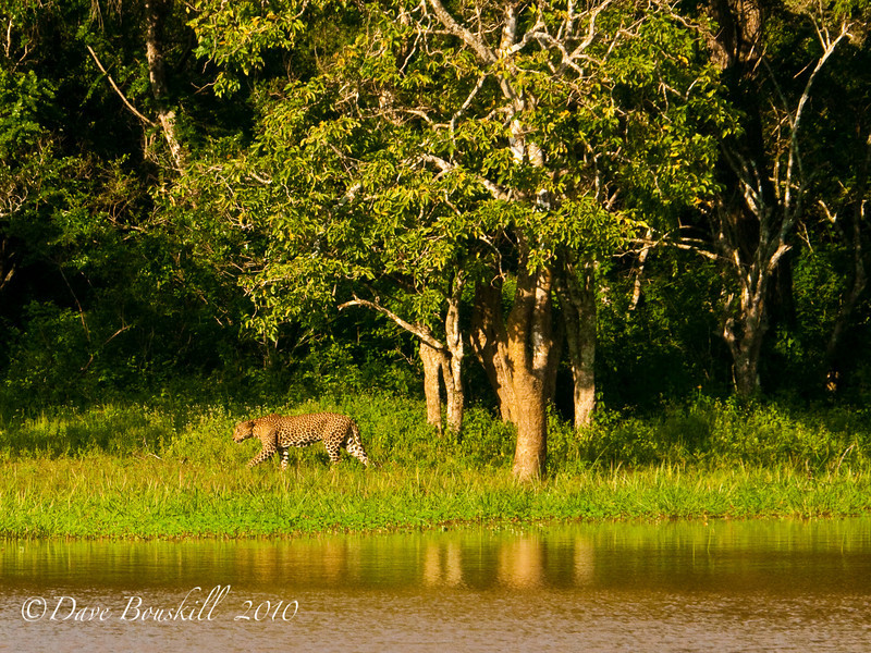 leopard walking in Yala National Park