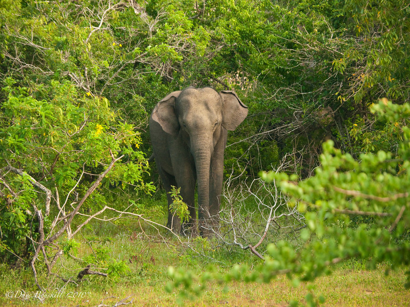 elephant flapping ears in Yala National Park