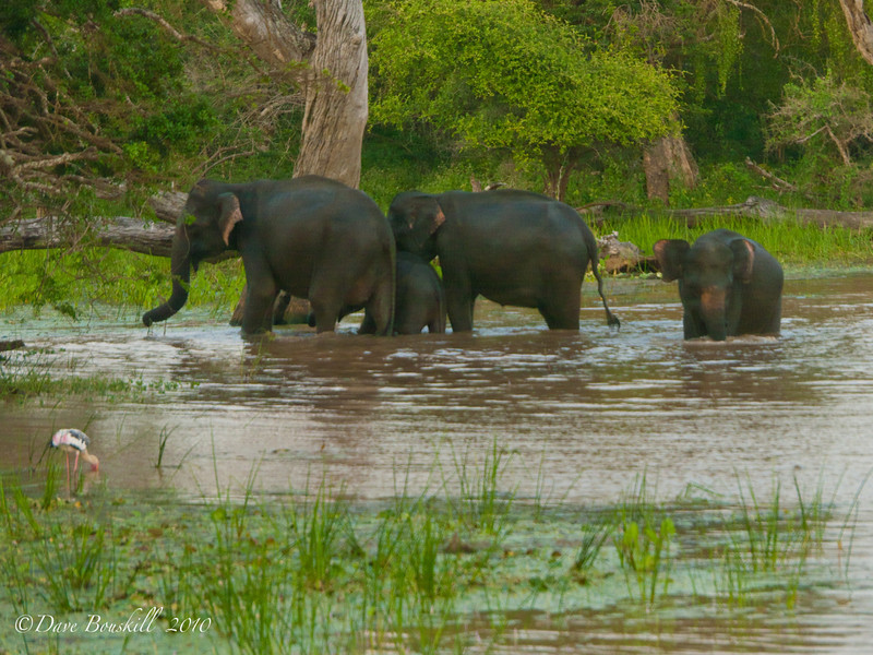 elephants bathing in Yala national Park, Sri Lanka