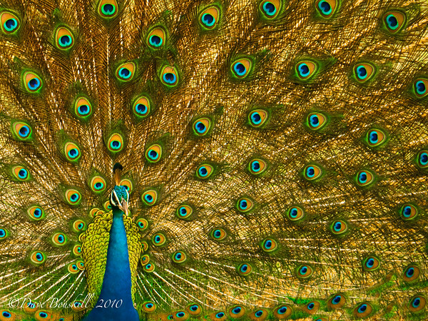 Peacock-Yala-National-Park-Sri-Lanka