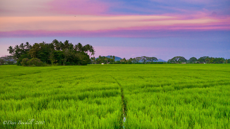 Tissa-sri-lanka-rice-field
