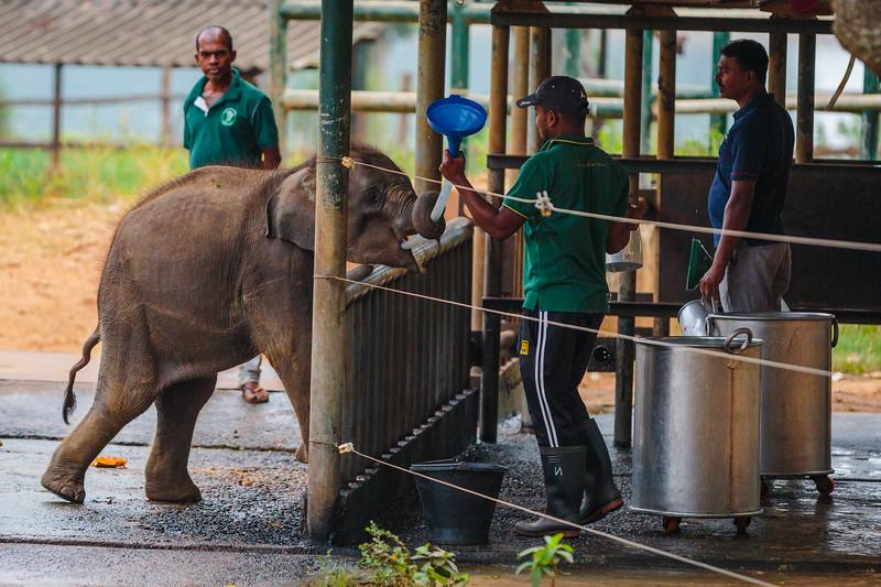 Elephant feeding in Udawalawe