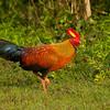 Ceylon Junglefowl