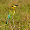 Bkue-tailed Bee-eater