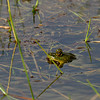 Many frogs jumpinWillug around in the shallow waters of
