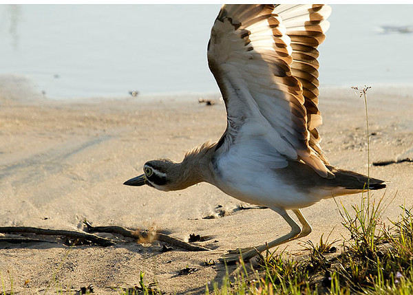 Great Thick-knee trying to fly away.