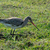 Black-tailed Godwit?
