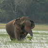 This lone elephant was feeding on the grass at Talawila the whole day.