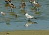 Gull-billed Tern and shore birds