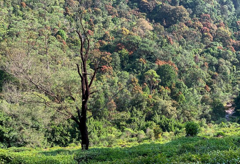 Tea fields and tree near Sri Pada, Sri Lanka