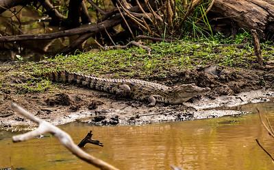 Sri Lanka - Yala NP - Crocodile