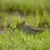 Pin-tailed snipe