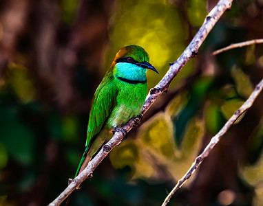Sri Lanka - Yala NP - Green Bee Eater