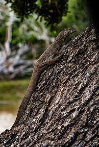 Sri Lanka - Yala NP - Iguana on a Tree