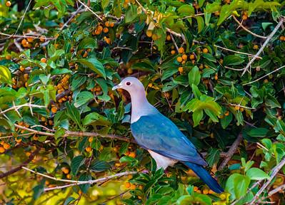 Sri Lanka - Yala NP - Green Imperial Pigeon