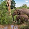 Elephants in Udawalawe National Park