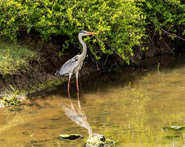 Sri Lanka - Yala NP - Painted Stork