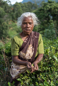 Tea Picker at Plantation near Ella