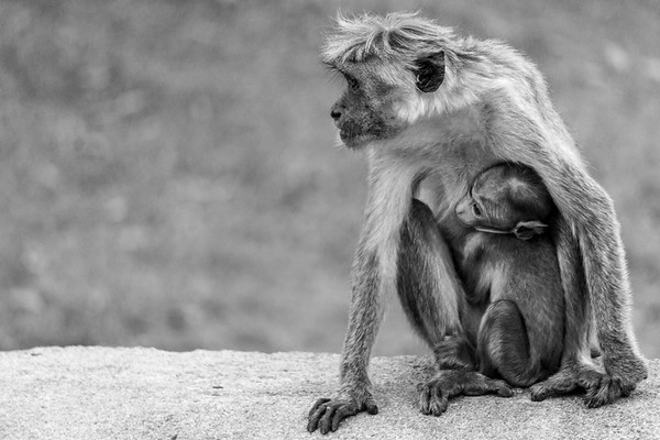 Mother and Baby Monkey, Jetavanarama, Sri Lanka, 2018