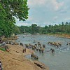 Tourists watching Sri Lankan Elephants (Elephas maximus maximus) in a river near  the Elephant Orphanage in Pinnawala