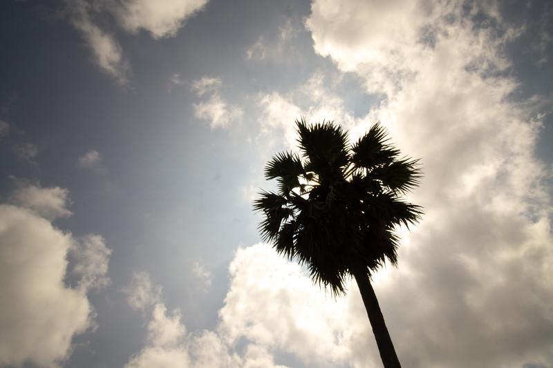 Palmyrah Tree, Jaffna