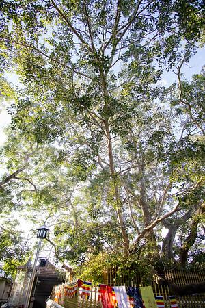 Bodhi Tree, Kataragama