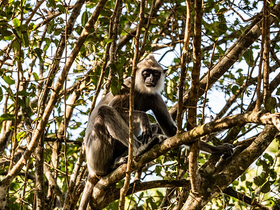 Sri Lanka - Yale NP - Grey Langur Monkeys