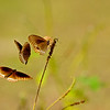 Common crow butterflies