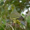 Sri lanka green-pigeon