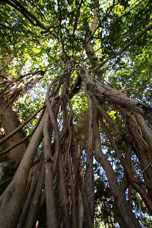 Banyan Tree, Tissamaharama