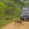 Leopard and tourists in Sri Lanka