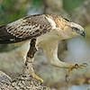 Juvenile Changeable hawk-eagle
