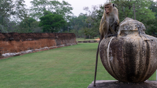 Monkey on the ruins, Jetavanarama, Sri Lanka, 2018