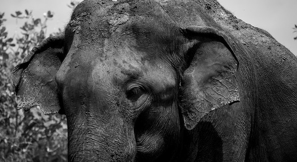 Wild Elephant, near Hambantota, Sri Lanka, 2007