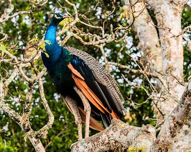 Sri Lanka - Yala NP Wild Peacock