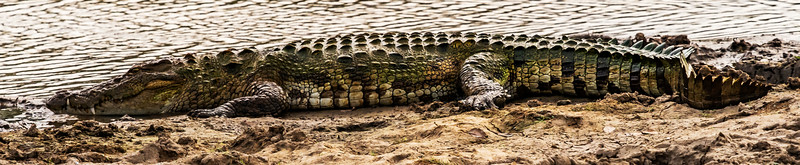 Sri Lanka -Yala NP - Crocodile